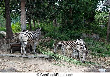 Common Zebra (Burchell's Zebra) - Equus burchellii