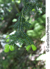 New green pins on the fir branches