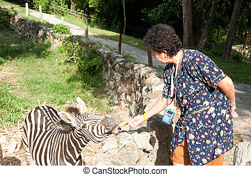 Common Zebra (Burchell's Zebra) - Equus burchellii
