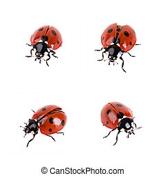 Ladybird in different poses on a white background