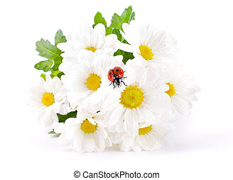 White flowers, field camomiles with ladybug on a white...