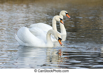 White swans floating on the water surface
