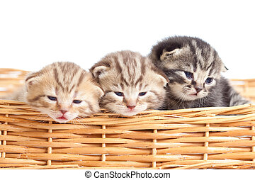 Funny small kittens in wicker basket - Adorable small...