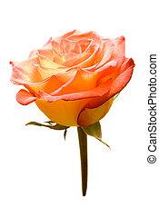 Colorful rosebud. Isolated on white background.