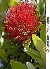 Pohutuakawa Tree, New Zealand - Pohutuakawa flower, also...