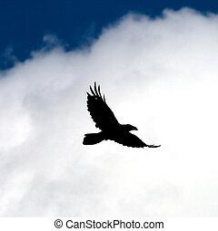 mouche, corbeau