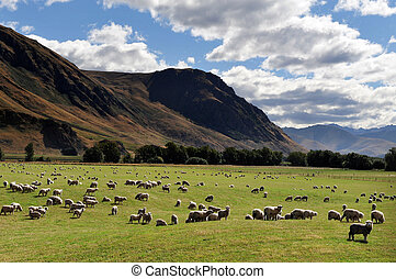 Farm South Island New Zealand - Farm with sheep landscape in...
