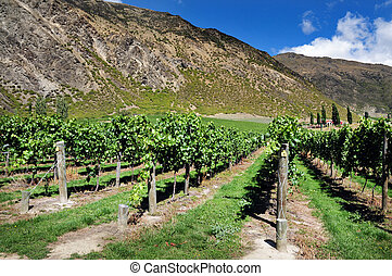 New Zealand Vineyard - Vineyard, South Island, New Zealand.