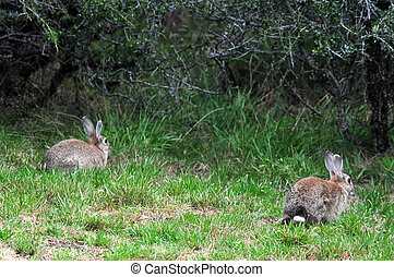 New Zealand Brown Rabbit - Brown rabbits in a field, New...