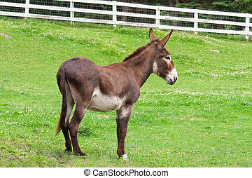 Donkey - A donkey standing in a pasture.