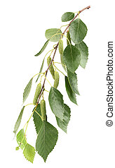 Branch of birch in closeup