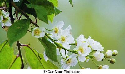 Bird-cherry tree Prunus Padus with spring flowers blooming