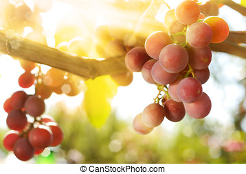 Grapes - Bunch of green muscat grapes on vine at sunset time