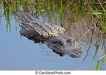 Alligator in the Wild - An alligator in the wild,Upper...