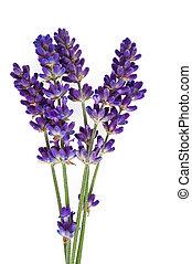 lavender -  lavender flower isolated on white