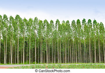 Eucalyptus forest in Thailand, plats for paper industry