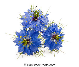 nigella flowers isolated on white