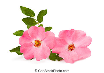 rosehip - rose pink flower isolated on white