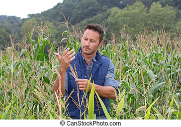 Agronomist analysing cereals in corn field