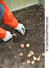 gardener sets onion in soil at field - Closeup of gardener...