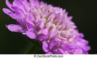 wild pink chrysanthemum