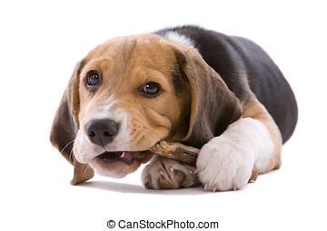 Can\'t you see I\'m busy? - Adorable young beagle pup...