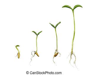 cantaloupe, opeenvolging, germination