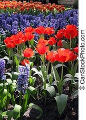 canteiro flores, em, keukenhof, jardins
