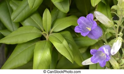 Canterbury bells flower - Purple canterbury bells flower in...