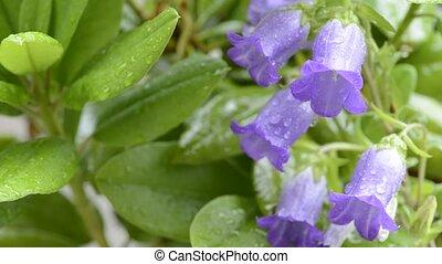 Canterbury bells flowers - Purple canterbury bells flowers...