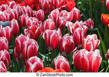 cantero, con, rojo, tulipanes, (tulipa), en, tiempo del resorte