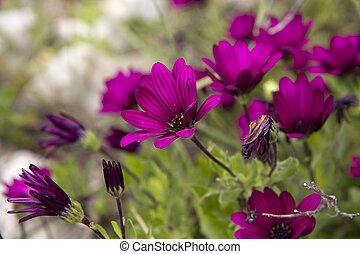 cantero, con, vinous, chrysanthemumin, tiempo del resorte