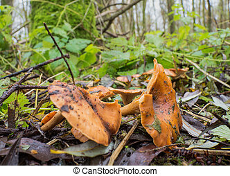Cantharellus cibarius or golden chanterelle