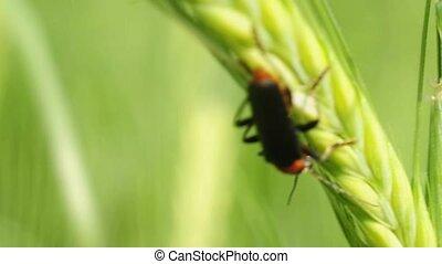 cantharis, coléoptère