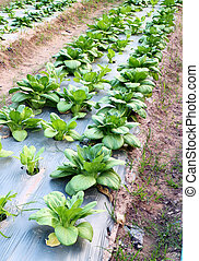 Cantonese Chinese vegetables plant - Cantonese Chinese...