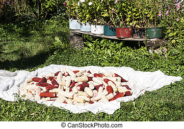 Canvas with corn cobs in garden