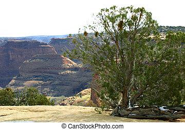 Canyon Cedar