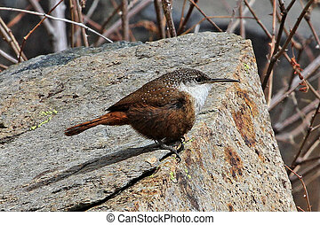 Canyon Wren (Catherpes mexicanus) in southeastern Arizona