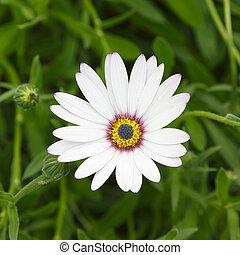 cap, pâquerette fleur