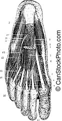 capa, después, imposta, illustration., diccionario, 1885.,...