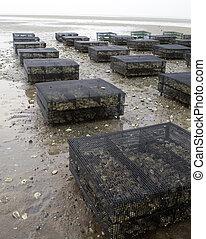 capa, ostra, cod., aqauculture, jaulas, resto, plano