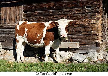 capanna, mucca