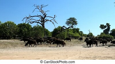 Cape Buffalo at Chobe, Botswana safari wildlife