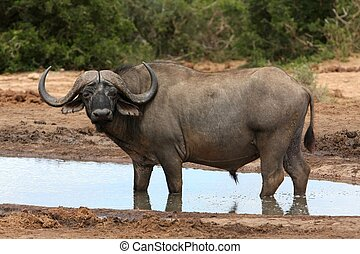 Magnificent Cape buffalo standing in a water hole