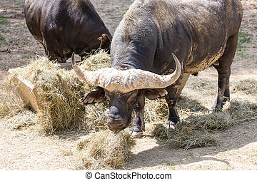 Cape Buffalo Feeding on Hay