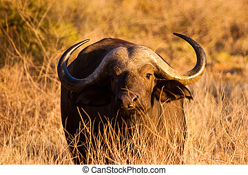 Cape buffalo grazing in the serengeti at sunset