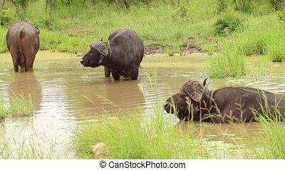 Cape Buffalo Herd Cooling Off in Water