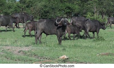 Cape Buffalo herd moving - Cape Buffalo (Syncerus...