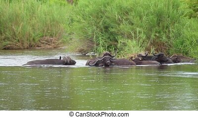 Cape Buffalo Herd Partly Submerged in Water
