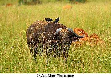 Cape Buffalo hiding in the Grass